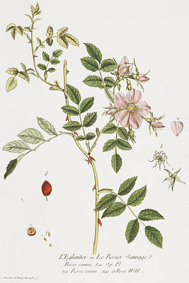 Wild Rose Poster by Nicolas Francois Regnault