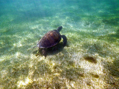 Poster featuring the photograph Wild Sea Turtle Underwater by Eti Reid