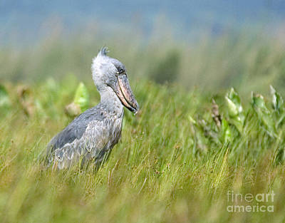 Poster featuring the photograph Wild Shoebill Balaeniceps Rex  by Liz Leyden