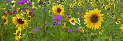 Wild Sunflower Field Panoramic Poster by Joann Vitali