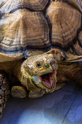 Wild Tortoise Poster