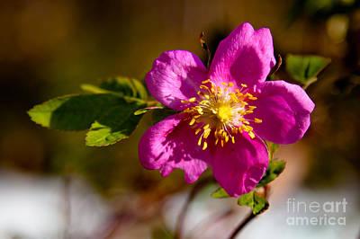 Wild Tundra Rose Poster