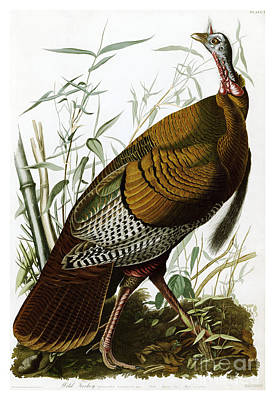 Wild Turkey By John James Audubon Poster