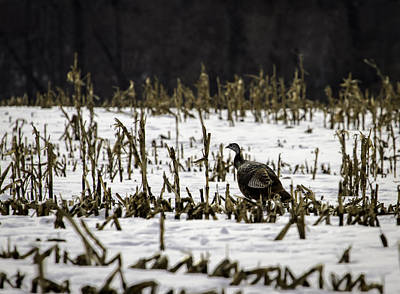 Wild Turkey In The Corn Poster by Thomas Young