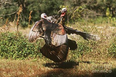 Wild Turkeys Fighting Poster