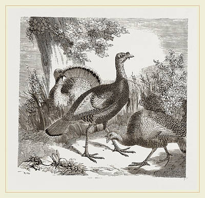 Wild Turkeys Poster by Litz Collection