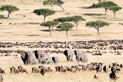 Wildebeests With African Elephants Poster