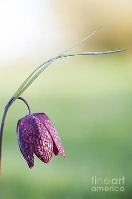 Wildflower Snakes Head Fritillary Poster by Tim Gainey