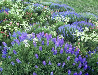 Wildflowers, Blue-pod Lupine, Lupinus Poster