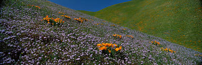 Wildflowers On A Hillside, California Poster