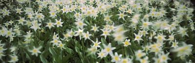 Wildflowers On Mountains, Mt Rainier Poster