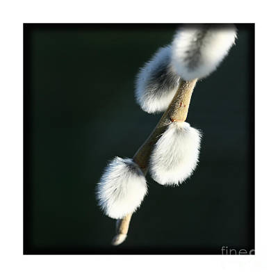 Poster featuring the photograph Willow On Black by Liz  Alderdice