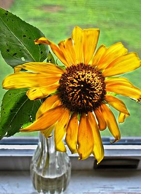 Wilting Sunflower In Window Poster