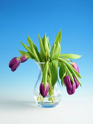 Wilting Tulips Poster