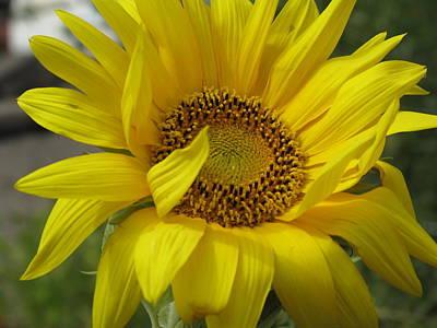 Windblown Sunflower Three Poster by Barbara McDevitt