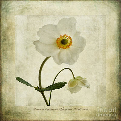 Windflowers Poster by John Edwards