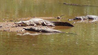 Windjana Crocodiles Poster