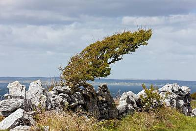 Windswept Hawthorn (crataegus Monogyna) Poster