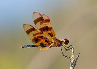 Windy Day Dragonfly Poster