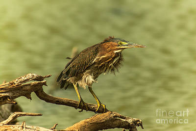 Windy Morn Green Heron Poster by Robert Frederick