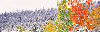 Winter, Aspens, Usa Poster