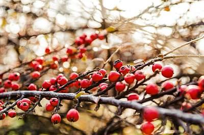 Winter Berryes. Poster