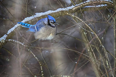 Winter Blue Jay Poster by Gary Hall