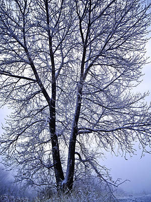 Winter Tree In Blue Fog Poster