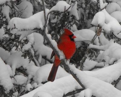 Winter Cardinal Poster