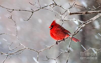 Winter Cardinal Poster by Debbie Green