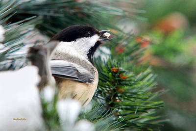 Winter Chickadee With Seed Poster by Christina Rollo