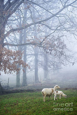 Winter Lamb And Ewe Foggy Day Poster