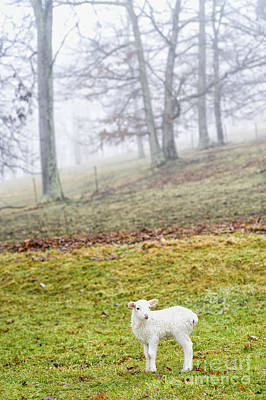 Winter Lamb Foggy Day Poster