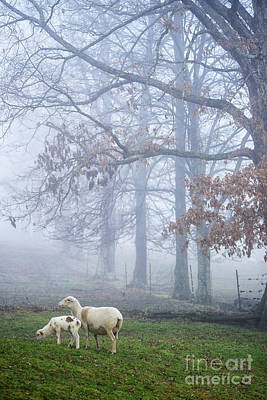 Winter Lambs And Ewe Foggy Day Poster