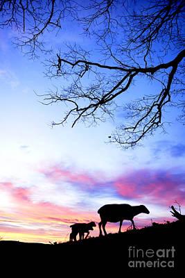 Winter Lambs And Ewe Sunrise Poster