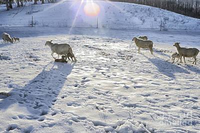 Winter Lambs Poster