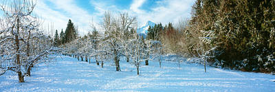 Winter Morning In The Pear Orchard Poster by Panoramic Images