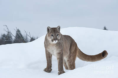 Winter Mountain Lion  Poster