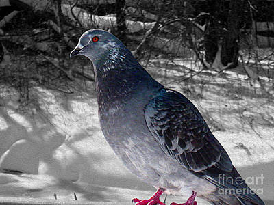 Poster featuring the photograph Winter Pigeon by Nina Silver
