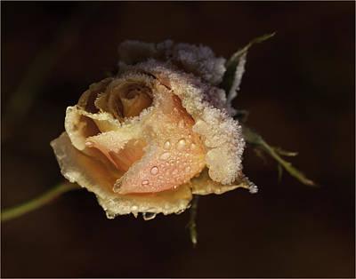 Winter Rose Poster by Chris Mason