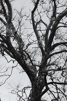 Winter Sycamore Poster by Daniel J Kasztelan