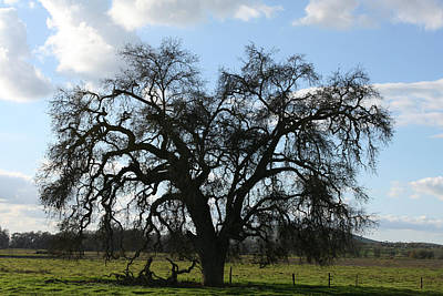 Winter Valley Oak Poster by Marsha Ingrao
