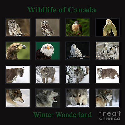 Winter Wonderland Wildlife Of Canada Poster by Inspired Nature Photography Fine Art Photography