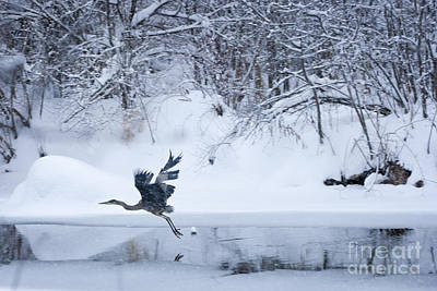 Wintering Heron In Flight Poster by Roger Bailey