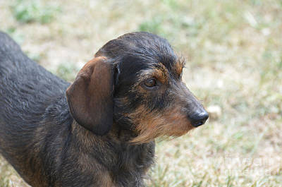 Wire Haired Daschund Poster