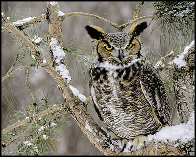 Wise Old Great Horned Owl Poster
