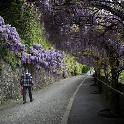 Wisteria And Plaid Poster