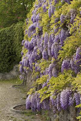 Poster featuring the photograph Wisteria by Colleen Williams