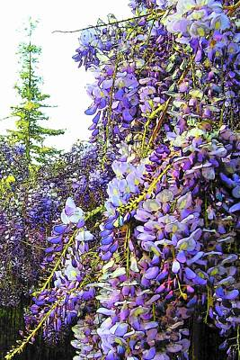 Poster featuring the photograph Wisteria - Fun Version 2 by Jodie Marie Anne Richardson Traugott          aka jm-ART