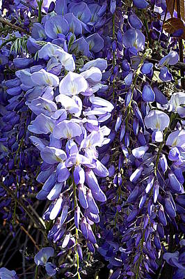 Poster featuring the photograph Wisteria II by Jodie Marie Anne Richardson Traugott          aka jm-ART